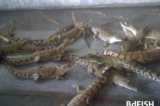 Crocodile Farming in Mymensingh, Bangladesh